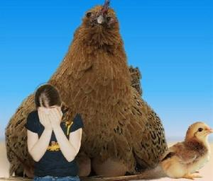 боязнь кур и цыплят