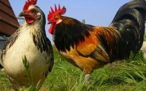петух и курица